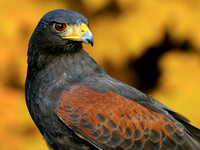 (24)NAA~Harris-Hawk-Portrait~151